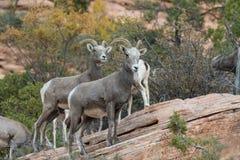 Овцы снежных баранов пустыни стоковое фото rf