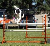 овцы собаки скача Стоковые Фото