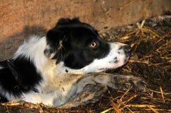 овцы собаки стоковая фотография rf