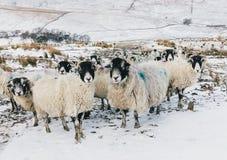 Овцы, стадо беременных овец в участках земли Йоркшира во время зимней погоды Стоковые Фотографии RF