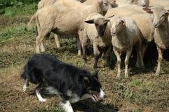 овцы стаи Коллиы граници Стоковое Изображение