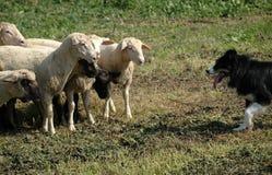 овцы стаи Коллиы граници Стоковые Изображения