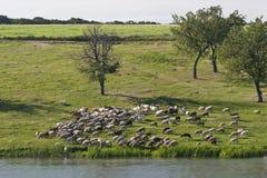 овцы стаи Стоковое Изображение