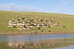 овцы стаи Стоковая Фотография