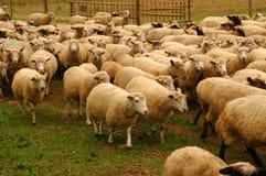 овцы стаи стоковая фотография rf