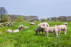 Овцы стоя в поле… Стоковая Фотография RF