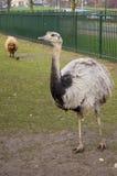 овцы страуса предпосылки коричневые Стоковые Изображения