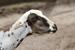 овцы стриженые Стоковое Фото