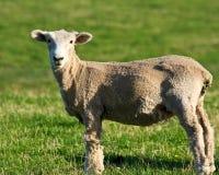 овцы стриженые Стоковые Фото