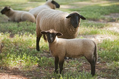 Овцы суффолька Стоковые Фото