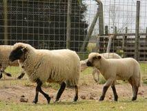 Овцы с ее младенцем Стоковое Изображение RF