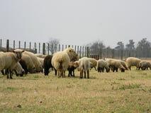 Овцы с ее младенцем Стоковые Изображения RF