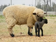 Овцы с ее младенцем стоковые фотографии rf