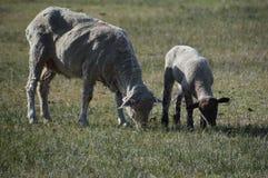 Овцы с овечкой весной pasture в Carson City Неваде Стоковые Изображения