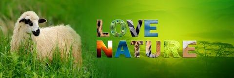 Овцы с природой влюбленности текста Стоковая Фотография RF