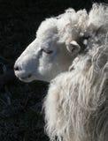 Овцы с рожочками Стоковое фото RF