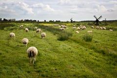 Овцы с станами в Голландии Стоковые Фотографии RF