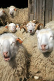 овцы табуна отдыхая Стоковые Фотографии RF