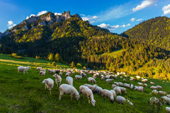 овцы табуна подавая травы Стоковое Фото