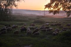 овцы табуна подавая травы Стоковая Фотография RF