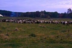 овцы табуна подавая травы стоковые фотографии rf