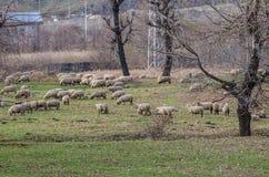 овцы табуна подавая травы Стоковое фото RF