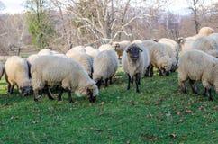 овцы табуна подавая травы Стоковые Изображения RF