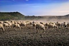 овцы табуна Стоковые Фотографии RF