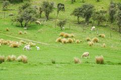Овцы табунят на внешней ферме на зеленом холме в Новой Зеландии Стоковое Фото