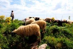Овцы, табун овечек Стоковое Фото