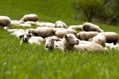 овцы травы Стоковая Фотография RF