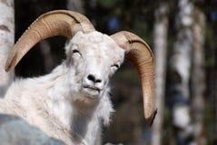овцы утеса dahl Стоковые Фото