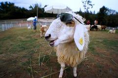 Овцы улыбки Стоковые Изображения RF