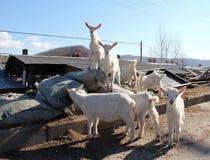 Овцы; фамилия стоковые изображения