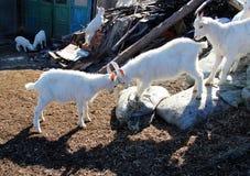 Овцы; фамилия стоковые изображения rf