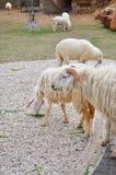 овцы фермы Стоковые Фотографии RF