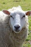 овцы шерстистые Стоковая Фотография