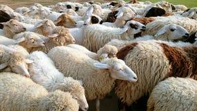Овцы, шерсти Стоковые Фотографии RF