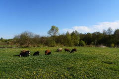 Овцы для прогулки Стоковое фото RF