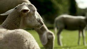 Овцы видеоматериал