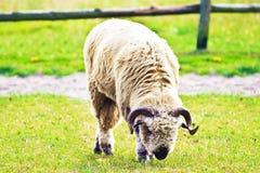 овцы Стоковые Фотографии RF