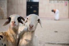 овцы 2 Стоковые Изображения RF
