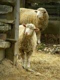 овцы 2 Стоковые Фотографии RF