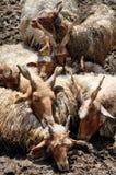 Овцы Стоковое фото RF