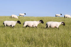 овцы 3 скрещивания Стоковое Изображение RF