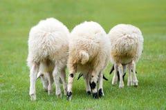 овцы 3 Стоковые Фотографии RF