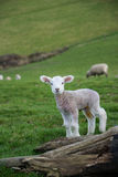 Овцы Стоковое Изображение
