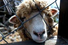 Овцы #5 Стоковые Фото