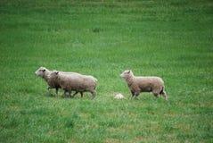 овцы 3 Стоковые Изображения RF