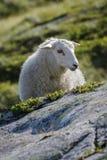Овцы Стоковая Фотография RF